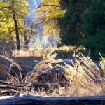 Mule Deer Yosemite