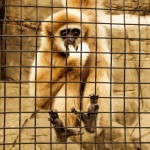 Gibbons Indianapolis Zoo