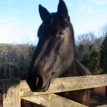 Moose Tennessee Walker