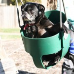 Pug Swinging TN
