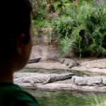 Croccodiles Animal Kingdom Disney