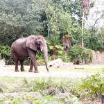 ELephant Disney Animal Kingdom