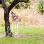 Giraffe Disney Animal Kingdom