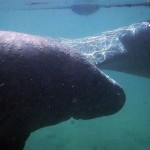 The Magic of Swimming with Manatees