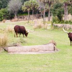 Ummm Cows Disney Animal Kingdom