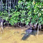 Alligator Nine Mile Pond Everglades NP FL