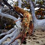 Dead Lobster Bahai Honda