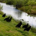 Vultures Everglades