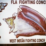 West Indian Fighting Conch FL Keys