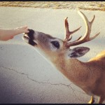 Key Deer Buck FL