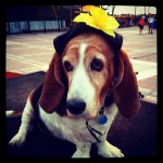 Rocket the Basset Hound Key West FL