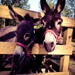 Even More Little Donkeys NC