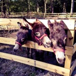 Jealous Little Donkeys NC
