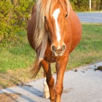 Wild chestnut horse at Assateague National Seashore