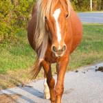 Wild chestnut horse at Assateague National Seashore