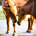 Wild horses Assateague National Seashore