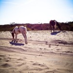 Mare and foal at Assateague National Seashore