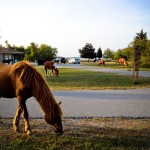 Camping with Wild Horses on Assateague Island