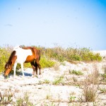 Wild Mare Assateague Island