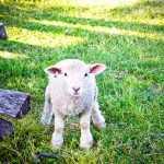 Lamb Williamsburg VA