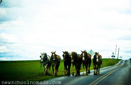 Amish Country Draft Horses PA