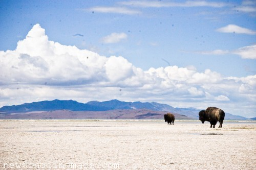Bison on the Beach Antelope Island State Park UT