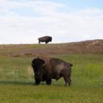 Buffalo Antelope Island State Park UT