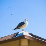 Seagull Antelope Island UT