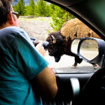 Buffalo Traffic Jame Yellowstone