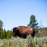Buffalo Yellowstone National Park