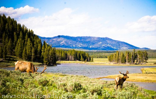 Elk Yellowstone NP