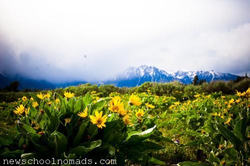 Wild Flowers Grand Tetons National Park