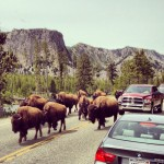 Bison Herd Yellowstone IG