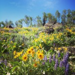 Wyoming Wild Flowers IG