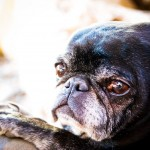 Nico the Black Pug WA