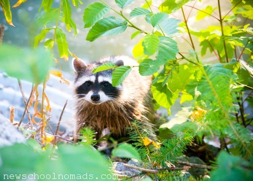 Raccoon La Connor Thousand Trails WA
