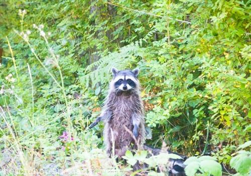 Standing Raccoon WA