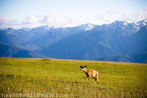 Deer Olympic NP WA 1