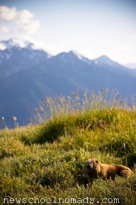Marmot Olympic National Park WA 1