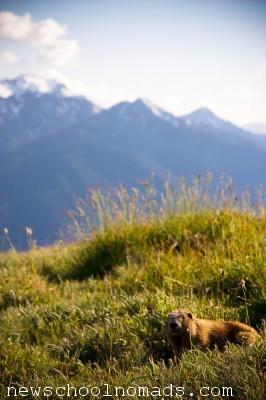 Marmot Olympic National Park WA 1