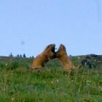 Marmot Playing Olympic NP WA 1