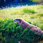 Marmot Scurry Olympic NP WA 1