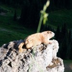 Marmot on a rock Olympic NP WA 1