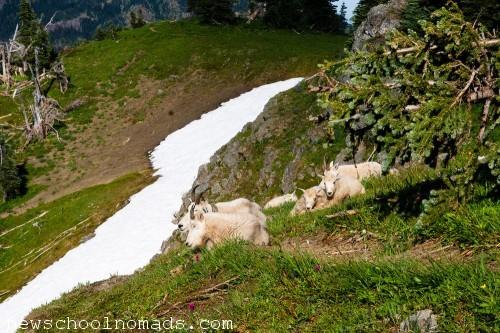 Mountain Goat Family Olympic National Park WA 1