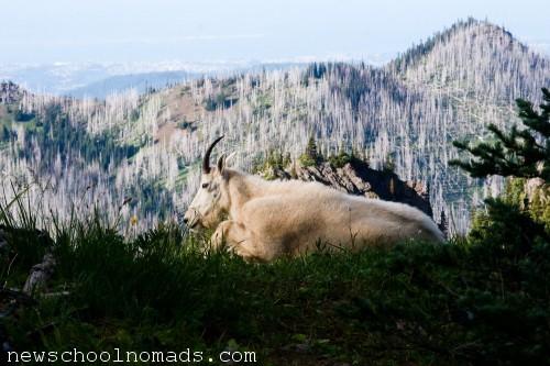 Mountain Goat Olympic National Park WA 1