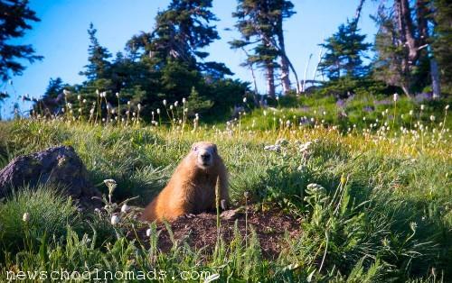 Peek a Boo Marmot Olympic National Park WA 1