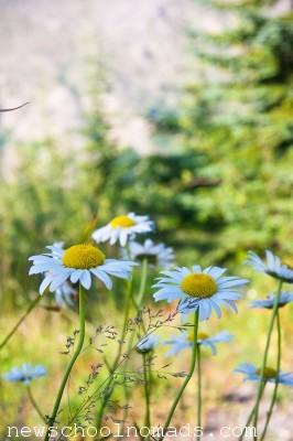 Daisies Mt St Helens WA