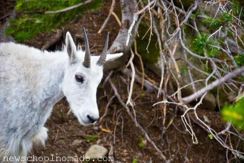 Mountain Goat Baby Glacier NP