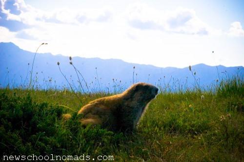 Funny Marmot Olympic NP WA 1